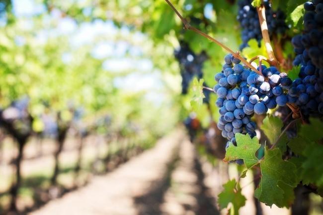 06 августа 2020 года – 17 лунный день, символ дня – Виноградная гроздь