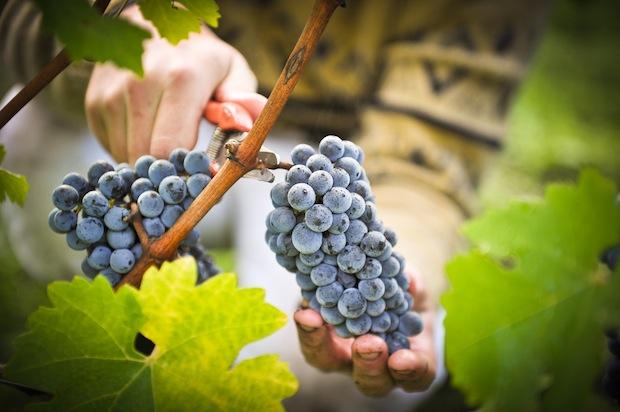 19 августа 2016 года – 17 лунный день, символ дня – Виноградная гроздь