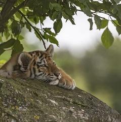Прогноз Фэн-шуй на февраль 2018 года — месяц Деревянного Тигра
