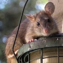 Прогноз Фэн-шуй на декабрь 2020 года – месяц Земляной Крысы