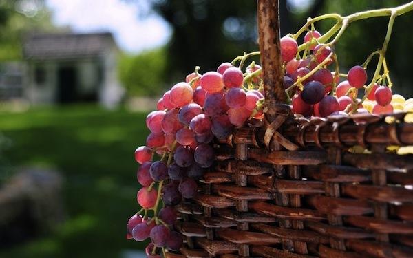 11 июля 2017 года – 17 лунный день, символ дня – Виноградная гроздь